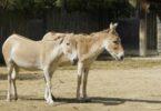 Keledai dan kuda